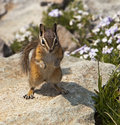 Mountain Chipmunk Royalty Free Stock Photos