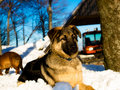Mountain dog Stock Photography