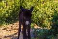 Mountain donkey on green field. Mountain donkey on green Royalty Free Stock Photo