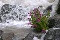 Mountain Glacier Stream Flowers Royalty Free Stock Photo