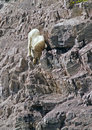 Mountain Goat #2 Royalty Free Stock Photo