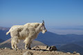 Mountain goat in the alpine a beautiful high Royalty Free Stock Photos