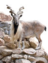 Mountain goat the animal is isolated Royalty Free Stock Photos
