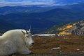 Mountain goat atop mount evans with fall aspens in the background Royalty Free Stock Image