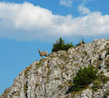 Mountain goat on cliff Royalty Free Stock Photo