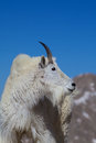 Mountain goat close up a of a in the high alpine Stock Photo