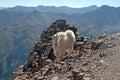 Mountain goat colorado on pyramid peak elk range Royalty Free Stock Photography