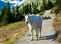 Mountain Goat, Glacier National Park Royalty Free Stock Image
