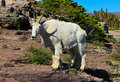 Mountain Goat, Glacier National Park, Montana Stock Image