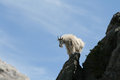 Mountain Goat on Harney Peak Spire Royalty Free Stock Photo