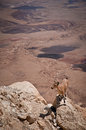 Mountain goat ibex in the negev desert israel Royalty Free Stock Photography