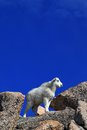 Mountain goat kid atop mount evans stands in the rocky mountains of colorado Royalty Free Stock Image