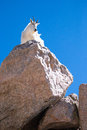 Mountain goat looking down in vertical photo Royalty Free Stock Photo