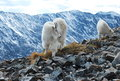 Mountain goat mom and baby goats on quandary peak in colorado Royalty Free Stock Image