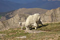 Mountain goat nanny and baby feeding a her kid in the alpine Stock Photography