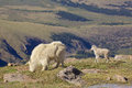 Mountain goat nanny and baby a her kid in the alpine Royalty Free Stock Photos