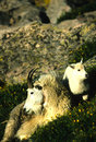 Mountain Goat Nanny and Kid Royalty Free Stock Image