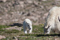 Mountain Goat Nanny and Kid Royalty Free Stock Photo