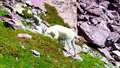 Mountain goat oreamnos americanus browses on vegetation at glacier national park in montana Stock Image