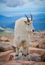 Mountain Goat Pose Royalty Free Stock Photo