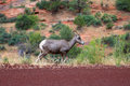 Mountain goat by roadside in Zion National Park Royalty Free Stock Photo