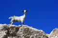 Mountain goat on rock a standing a rocky slope Stock Photos