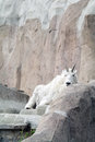 Mountain goat among the rocks and cliffs Stock Image