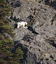Mountain goat with baby on a cliff Royalty Free Stock Photo