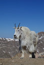 Mountain goat a stands in the high alpine Stock Photos