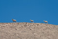 Mountain goat three goats in a row on a clear blue sky Stock Images
