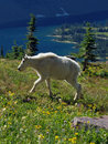 Mountain Goat Walking in Wildflowers Stock Photos