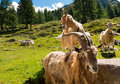 Mountain Goats in Alpine Landscape - Italy Royalty Free Stock Photo