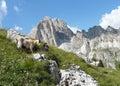 Mountain goats in Dolomite mountains Royalty Free Stock Photo