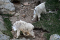 Mountain Goats Fighting On Har...