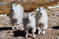 Mountain goats mountains with changing coats for winter to come Stock Photo