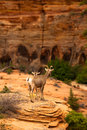 Mountain goats in zion national park utah usa Stock Photography
