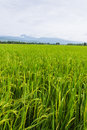 Mountain and green rice field in thailand chiangmai northen Royalty Free Stock Image