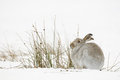 The mountain hare Stock Image