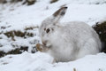 Mountain Hare Lepus timidus   in its winter white coat in a snow blizzard high in the Scottish mountains. Royalty Free Stock Photo
