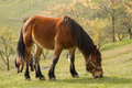 Mountain horse Royalty Free Stock Photo