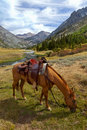 Mountain horse under saddle red dun bags rain slicker summer emigrant wilderness stanislaus national forest california Royalty Free Stock Photography