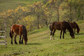 Mountain horses three eating grass Stock Photos