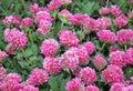 Mountain kidney vetch Anthyllis montana Royalty Free Stock Photo
