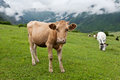 Mountain landscape with cows. Royalty Free Stock Photo