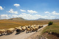 Mountain landscape with a herd of sheep walking along the road and windmills on the background. Balkans, Montenegro, Krnovo Royalty Free Stock Photo