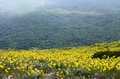 Mountain landscape: yellow-flowering steep hillside Royalty Free Stock Photo