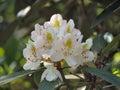 Mountain Laurel Royalty Free Stock Images