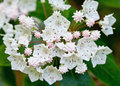 Mountain laurel close up of kalmia latifolia great smoky mountains national park Royalty Free Stock Image