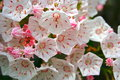 Mountain laurel in full bloom with white and dark pink flowers and buds Royalty Free Stock Images