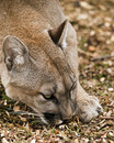 Mountain Lion Royalty Free Stock Photo